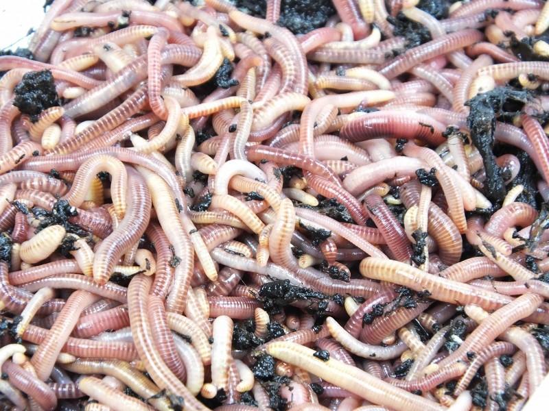 DREAMTEAM Kompostwurmmix - Profi-Set (Eisenia foetida & Eisenia hortensis) - für Komposter, Komposthaufen, Komposttoilette, Wurmkomposter, Wurmkiste - 1500 Stück – Bild 2