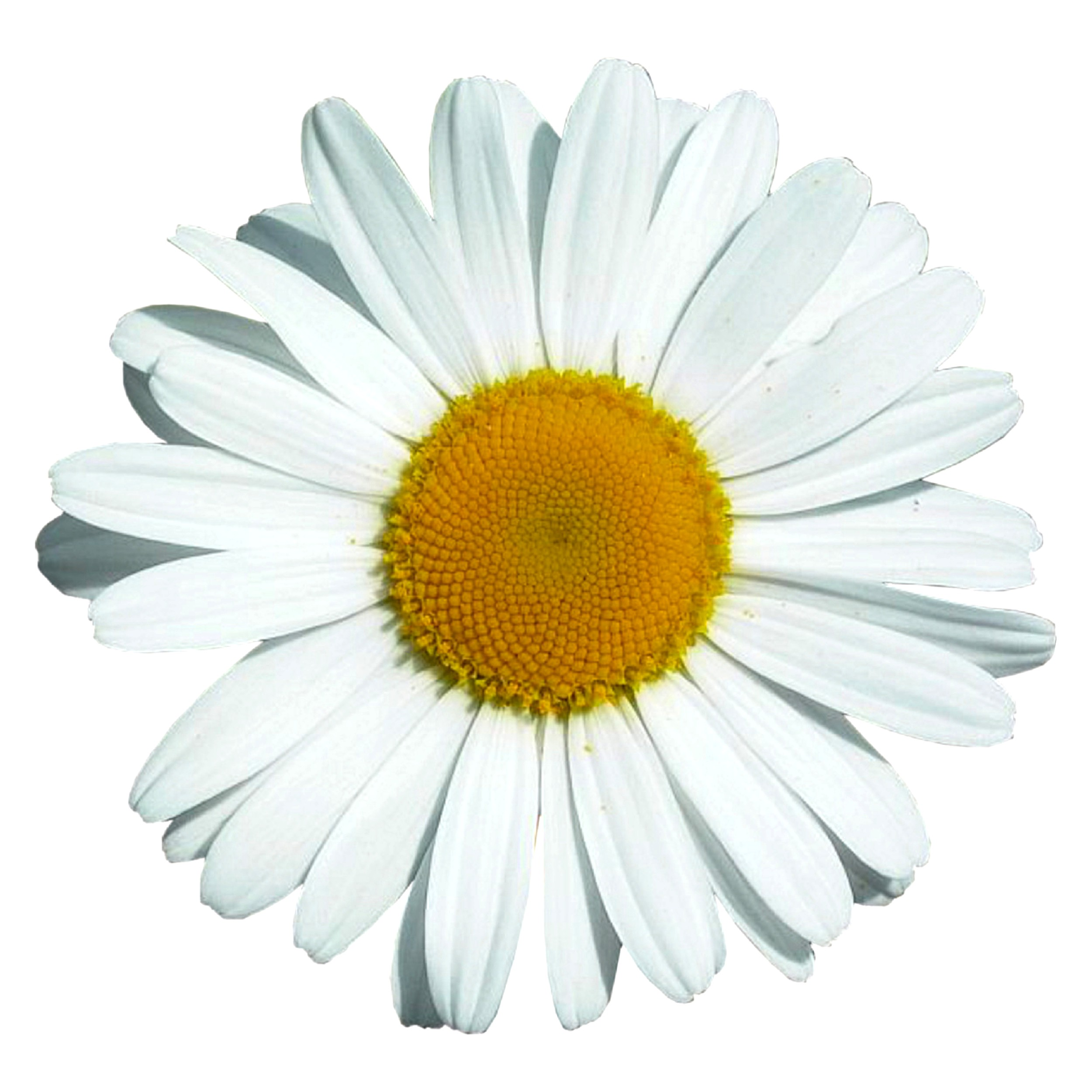 Sticker Oxeye Daisy Flower 180 x 160 mm 001