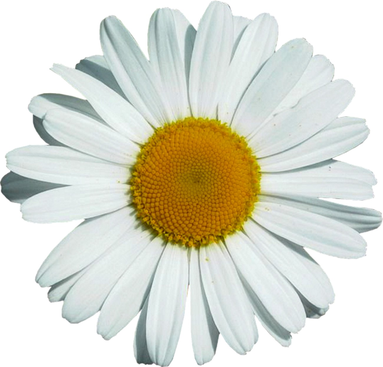 Aufkleber Margeritenblüte 300 x 300 mm