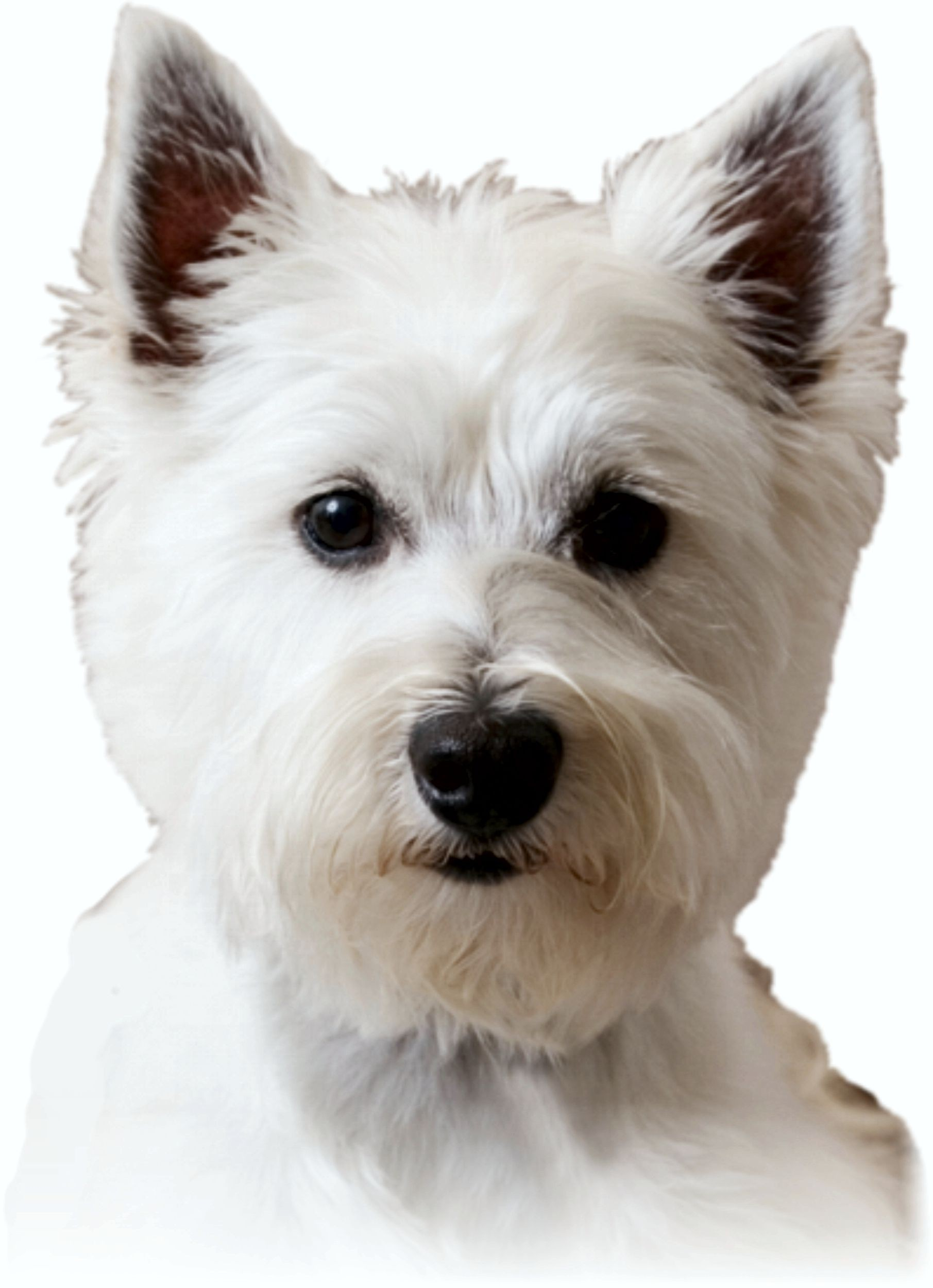 Sticker dog westie 125 x 110 mm – Bild 1