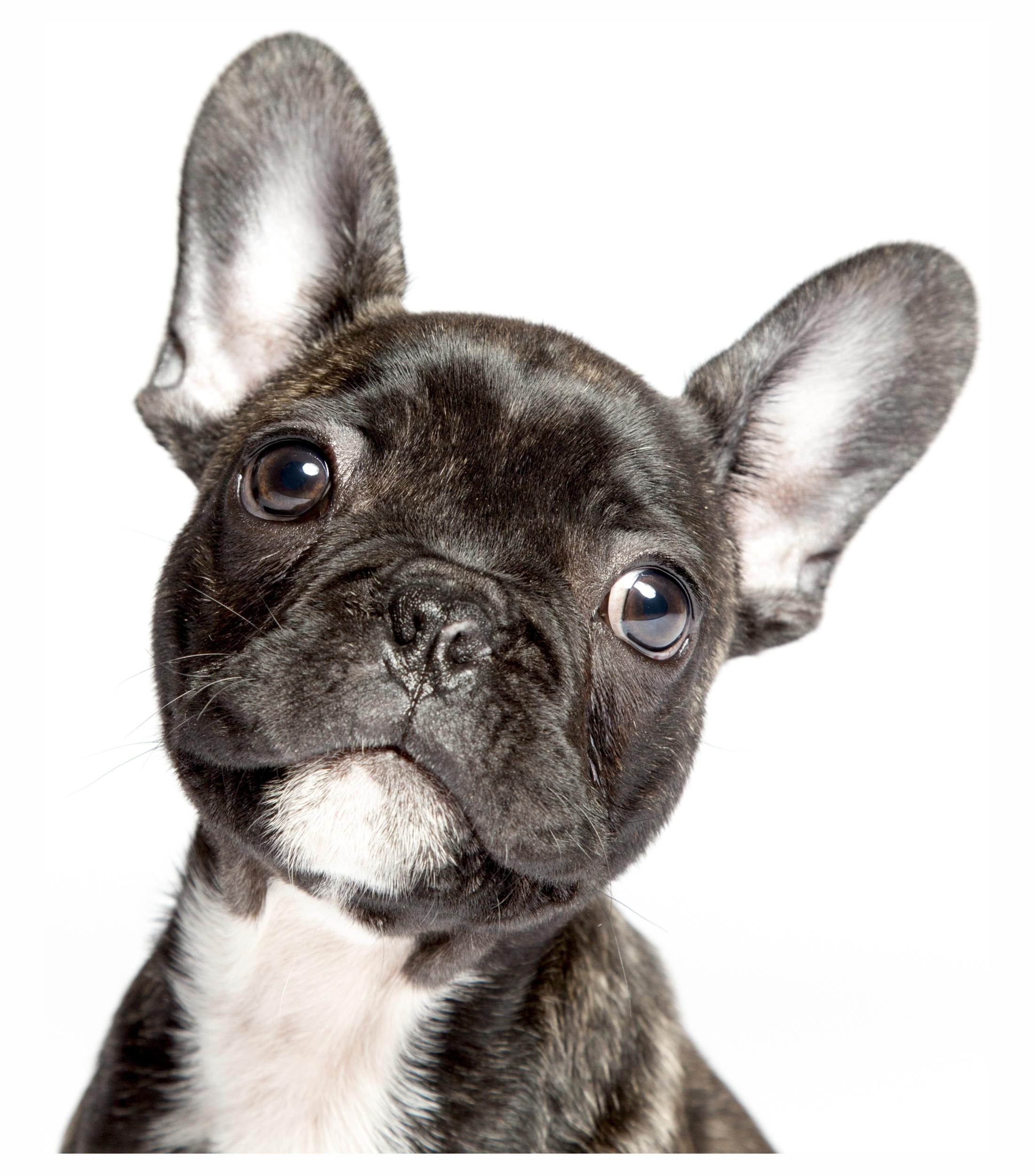 Sticker dog französische bulldogge 120 x 110 mm – Bild 1