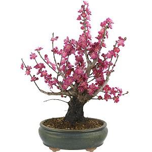Japanische Aprikose Bonsai (Prunus mume)