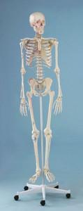 Skelett mit Muskeldarstellung, anatomisches Modell