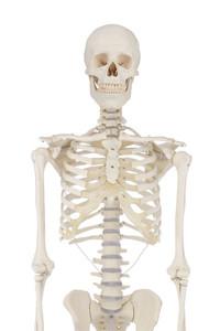 Skelett, Standardmodell, anatomisches Modell, ideal zum Studium