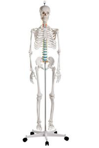 Schulskelett  Oscar , Skelett für Schule, anatomisches Modell
