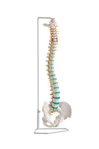 anatomisches Model Wirbelsäule, Flexible Wirbelsäule mit Stativ zum Aufhängen