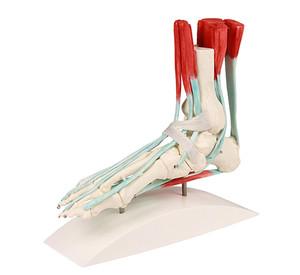 Fußskelett mit Bändern, Lebensgroßes Fußskelett mit Darstellung des Bandapparats