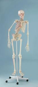 anatomisches Modell, Skelett mit beweglicher Wirbelsäule
