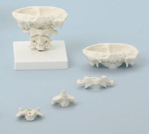 anatomisches Modell, Kopfgelenke, natürliche Größe