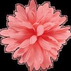 Electra Lenkrad-Blume - Dahlia Pink