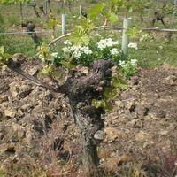 Rotwein Weingut  Lorenz Kunz Spätburgunder 2012 trocken (3x0,75l) - VERSANDKOSTENFREI - – Bild 5
