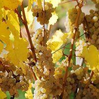 Weingut Martin Schropp | Weißherbst | Schwarzriesling (3 x 1,0l) - VERSANDKOSTENFREI - – Bild 4