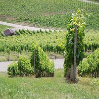 Weingut Martin Schropp | Weißherbst | Schwarzriesling (6 x 1,0l) - VERSANDKOSTENFREI - – Bild 6
