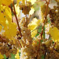 Weißwein Schropplanc (Blanc de Noir) | Trollinger Qualitätswein 2015 mild (6x0,75l)   – Bild 4