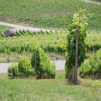 Rotwein | Weingut Martin Schropp | Trollinger halbtrocken (6x1,0l) - VERSANDKOSTENFREI - – Bild 6