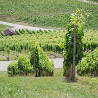 Rotwein | Weingut Martin Schropp | Trollinger 2015 trocken (6x1,0l) - VERSANDKOSTENFREI - – Bild 6