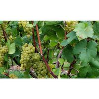 Weingut Roland Mees Nahe Kreuznacher Rosenberg Rivaner Qualitätswein 2015 halbtrocken (6 x 0,75l) - VERSANDKOSTENFREI - – Bild 5