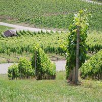 Rotwein | Weingut Martin Schropp | Trollinger 2015 trocken (12x1,0l) - VERSANDKOSTENFREI - – Bild 6