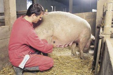 HK Trächtigkeitsdiagnosegerät für Schweine NEU K-22130 – Bild 3