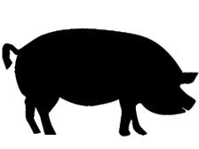 Kauartikel vom Schwein